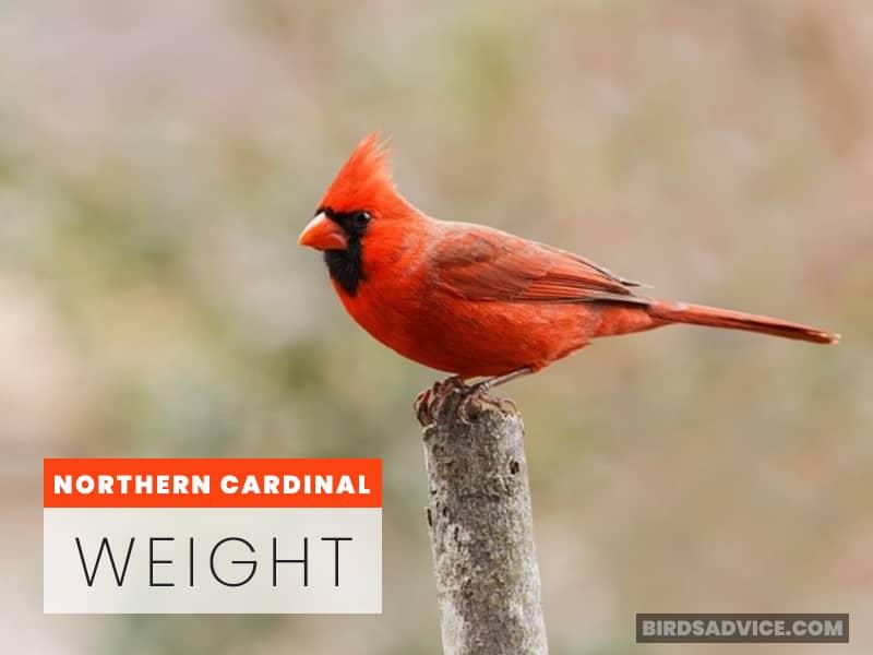 Northern Cardinal Weight
