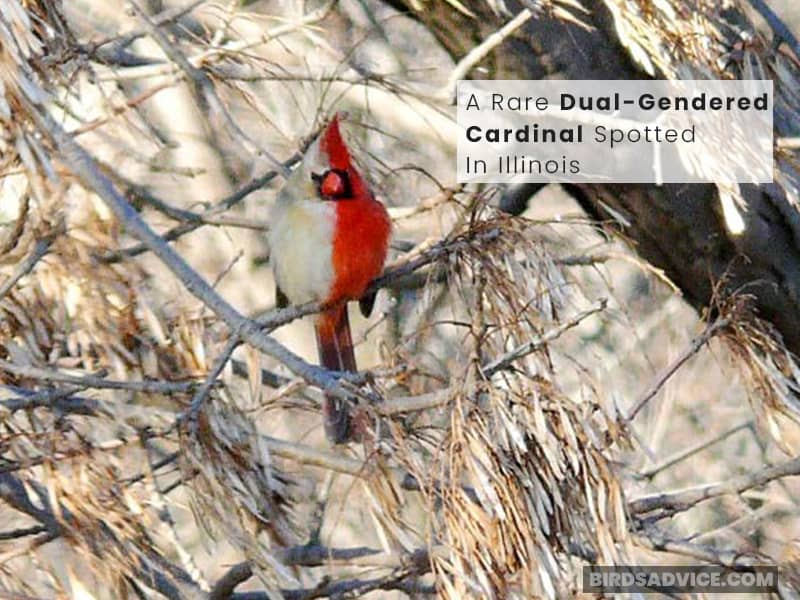 A Rare Dual-Gendered Cardinal Spotted In Illinois
