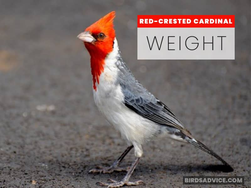 Red-Crested Cardinal Weight