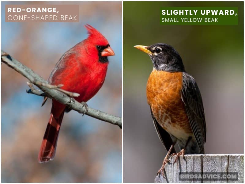 Robin And Cardinal Beak