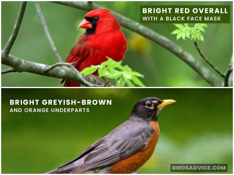 Robin And Cardinal Color