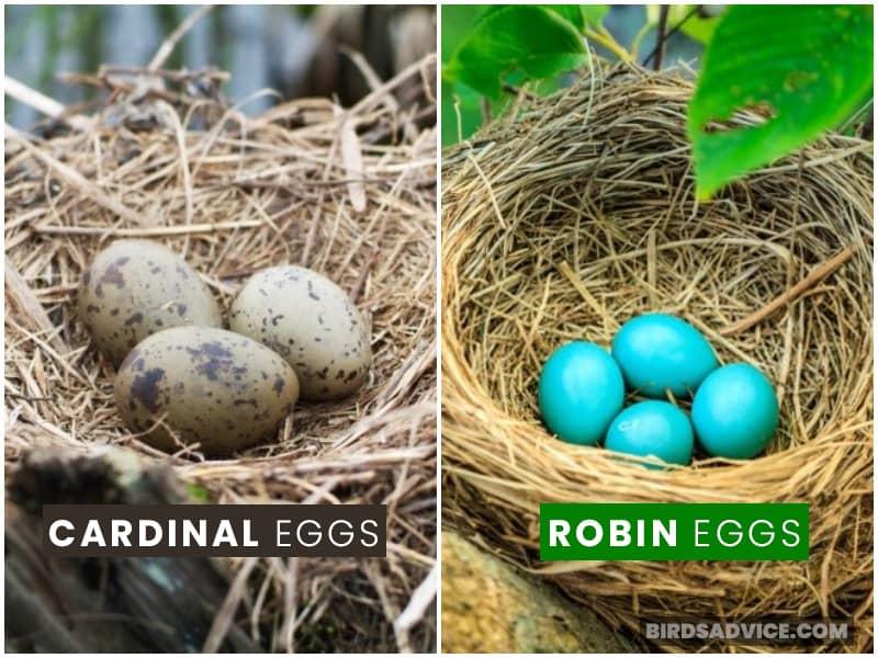 Robin And Cardinal Eggs