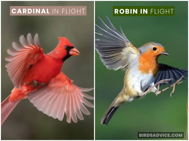 Robin And Cardinal Flight
