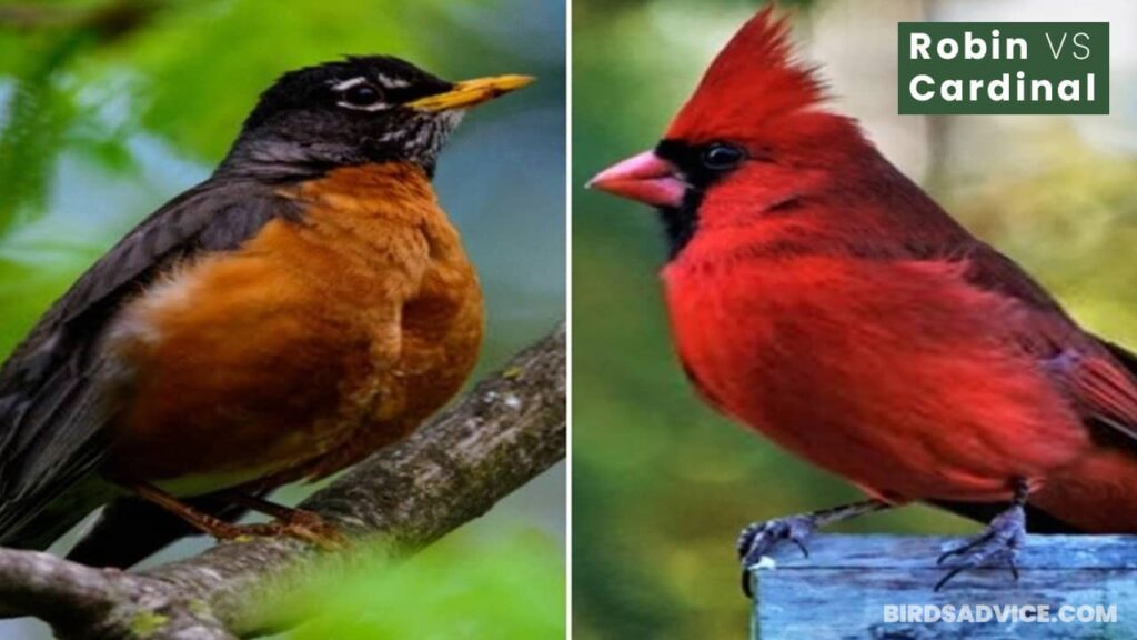 Robin VS Cardinal