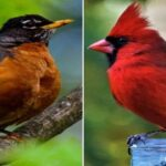 Robin VS Cardinal: What's The Difference?