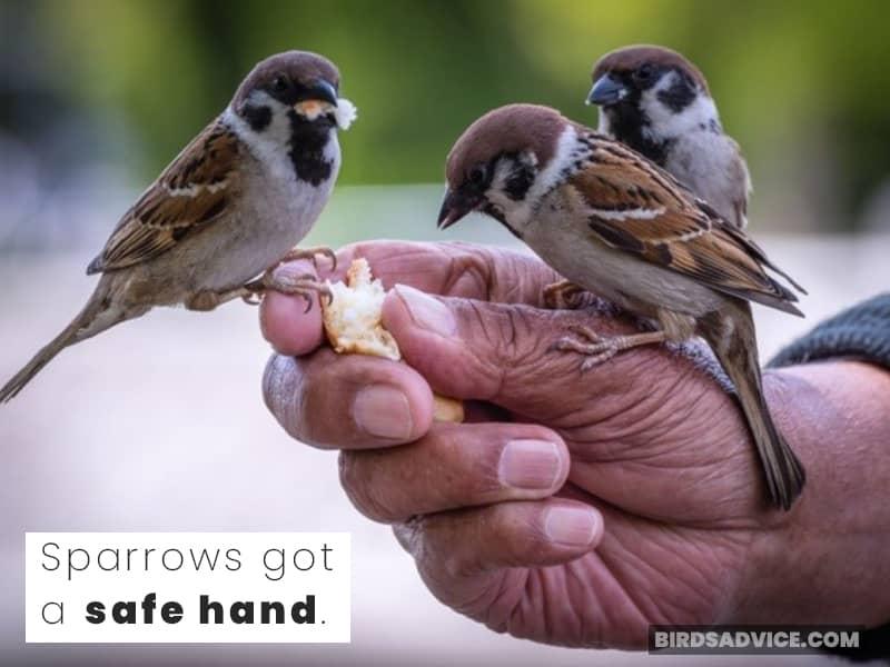 Sparrows got a safe hand