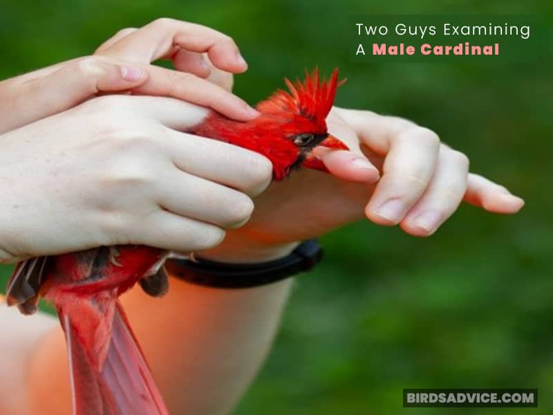Two Guys Examining A Male Cardinal