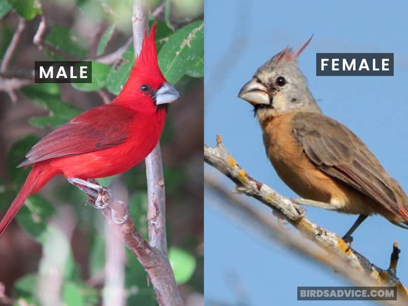 Vermilion Cardinal Male And Female