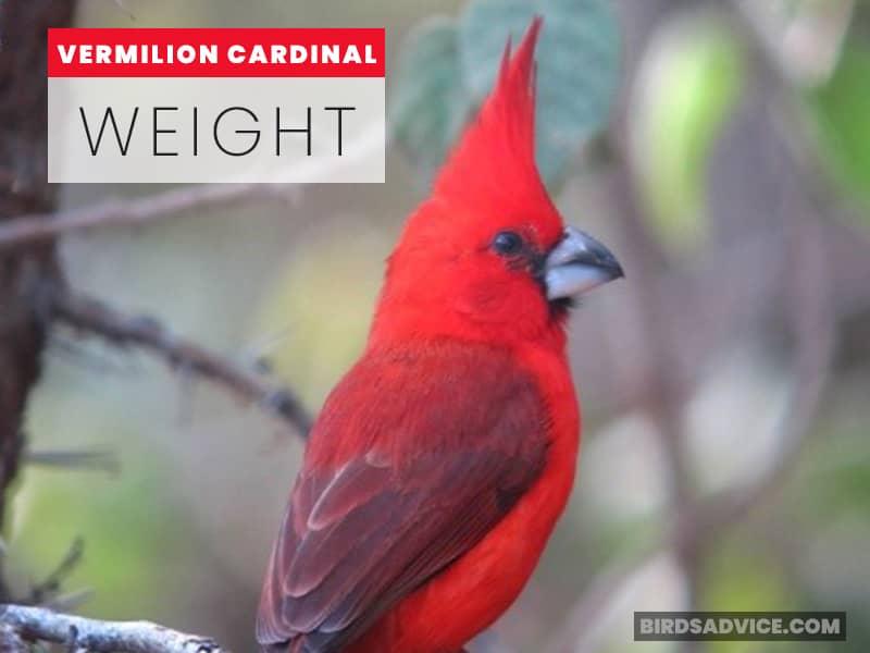 Vermilion Cardinal Weight