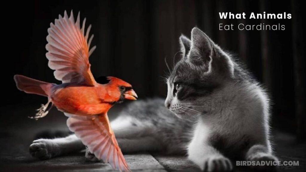 What Animals Eat Cardinals