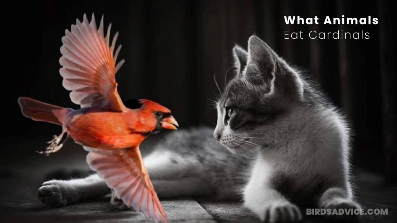 What Animals Eat Cardinals? A List Of Predators Of Cardinals
