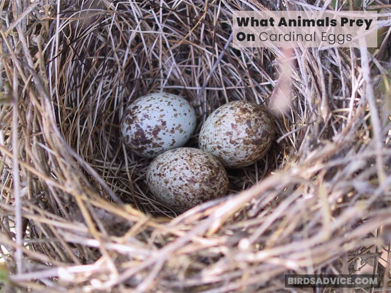 What Animals Prey On Cardinal Eggs?