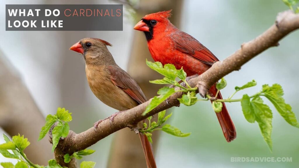 What Do Cardinals Look Like