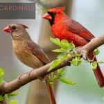 What Do Cardinals Look Like? Identification With Pictures