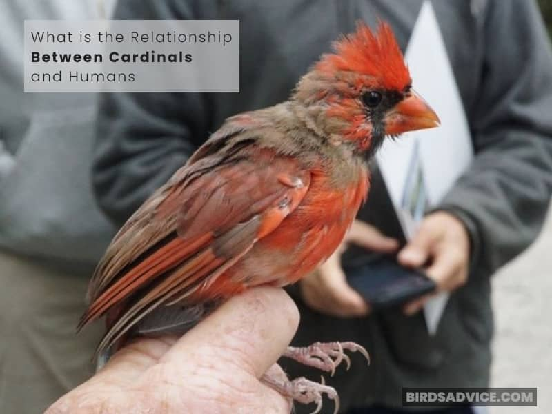 What is the Relationship Between Cardinals and Humans?