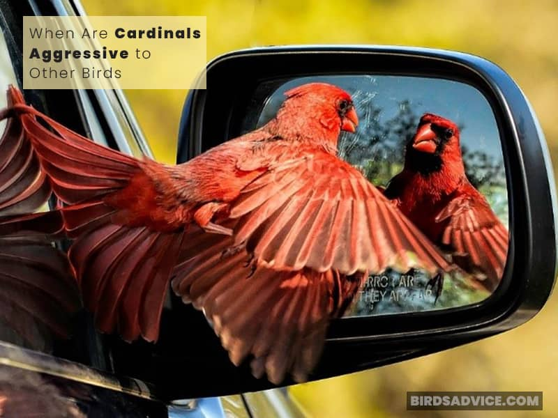 When Are Cardinals Aggressive to Other Birds?