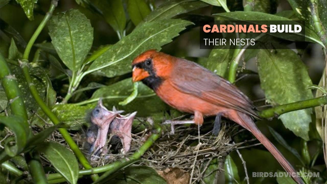 Where Do Cardinals Build Their Nests? Birds Advice