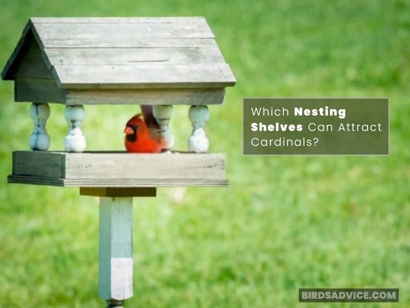 Which Nesting Shelves Can Attract Cardinals