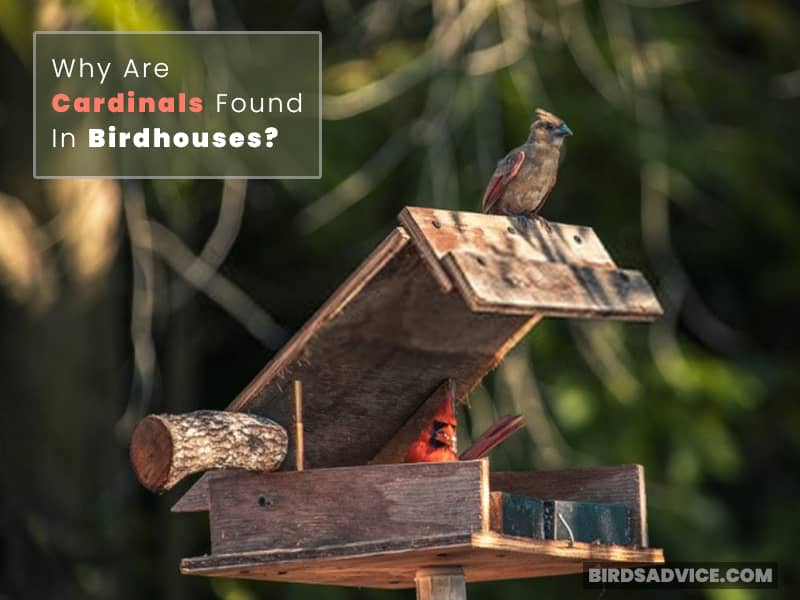 Why Are Cardinals Found in Birdhouses?