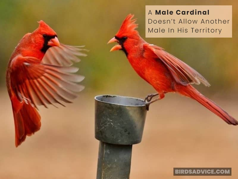 Why Are Cardinals Territorial?