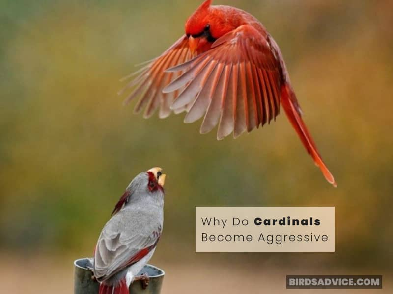 Why Do Cardinals Become Aggressive?
