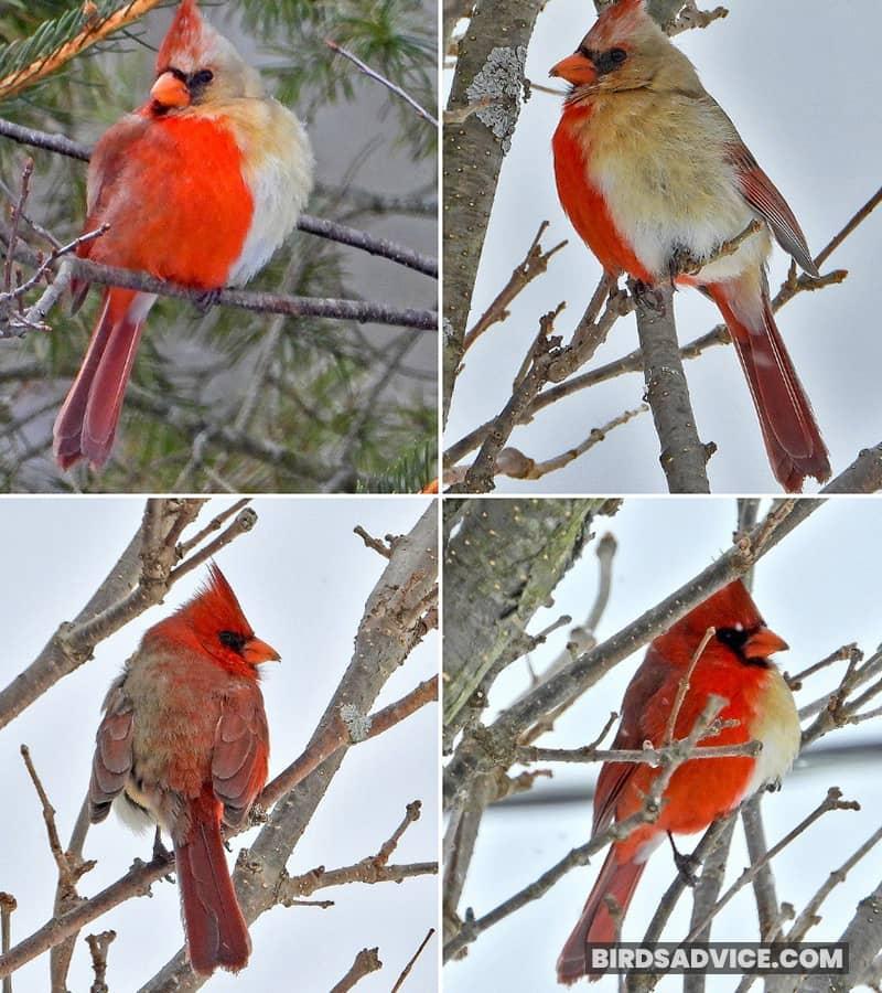 Images of the rare cardinal
