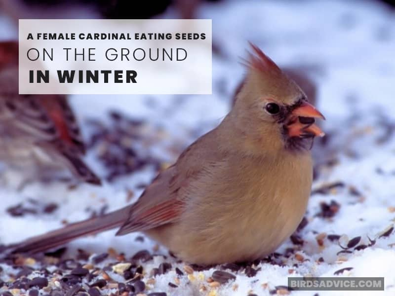 A Female Cardinal Eating Seeds On The Ground In Winter