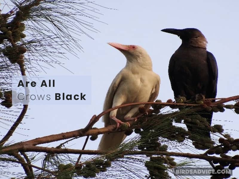 Are All Crows Black?