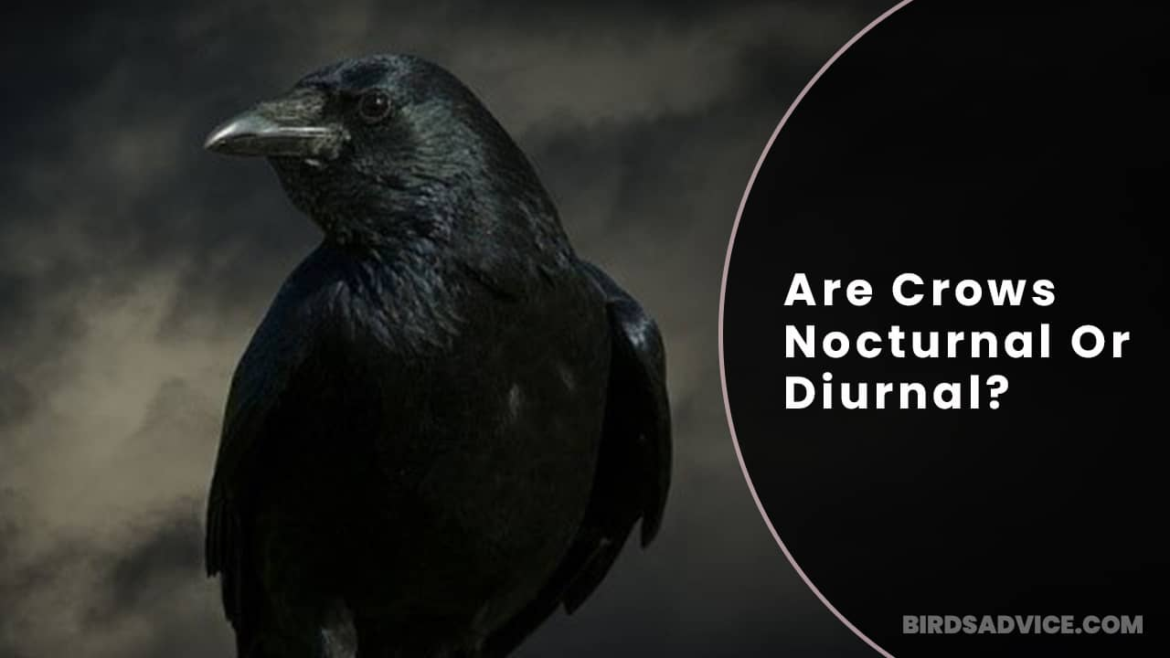 Are Crows Nocturnal Or Diurnal