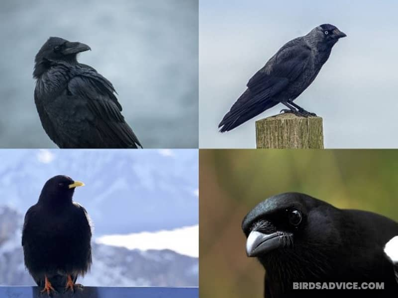 Are Crows The Only Corvid Capable Of Talking Like Parrots?