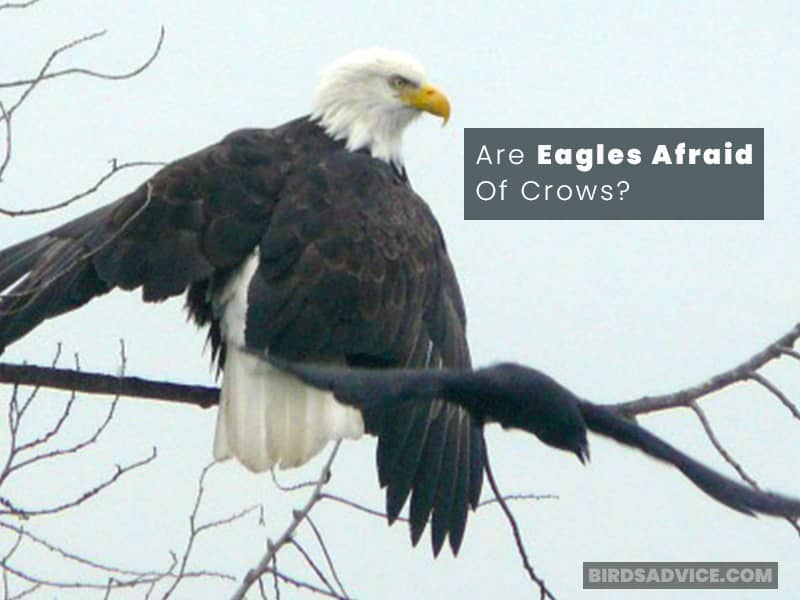Are Eagles Afraid Of Crows?