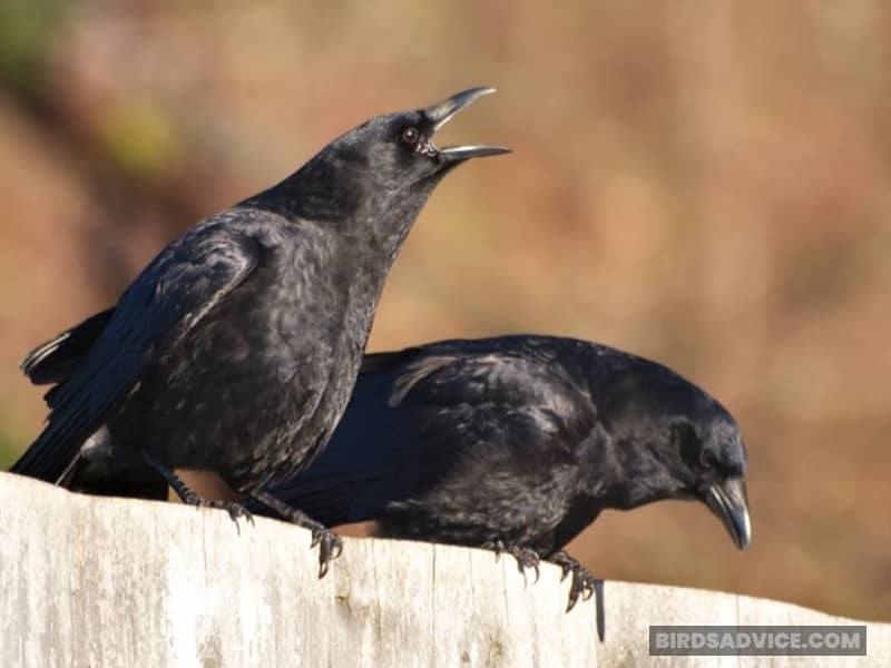 Can All Crows Talk and Mimic?
