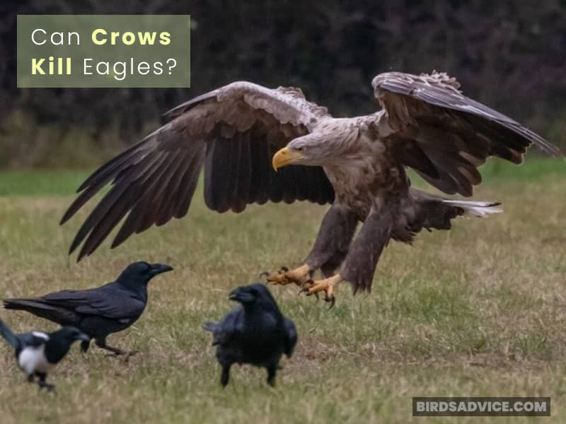 Can Crows Kill Eagles?