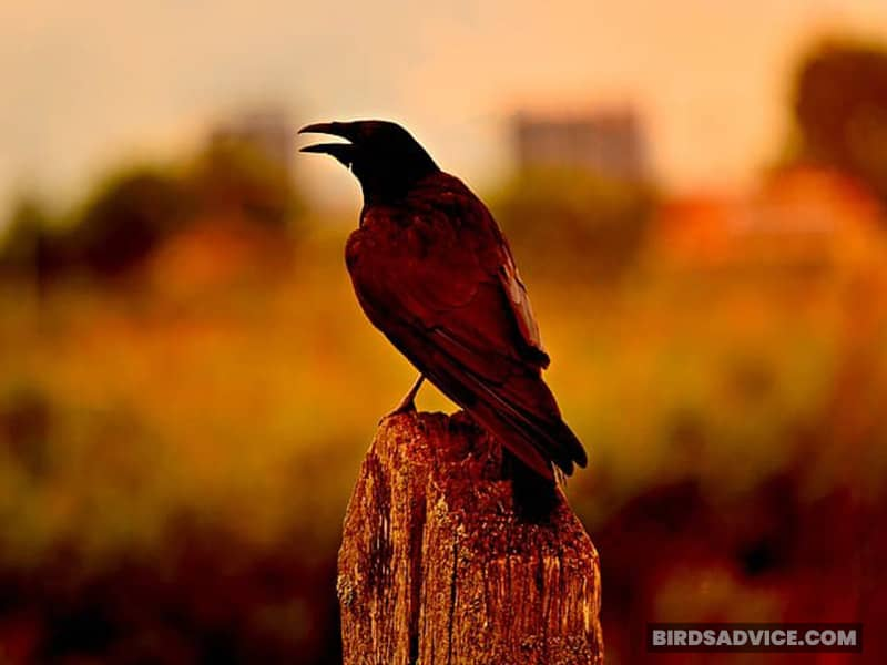 Can Crows Really Talk?