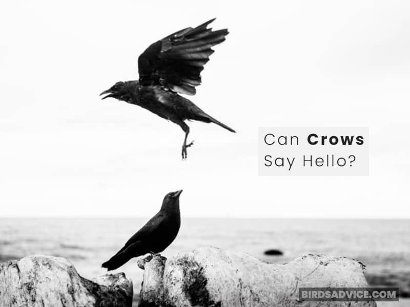 Can Crows Say Hello?