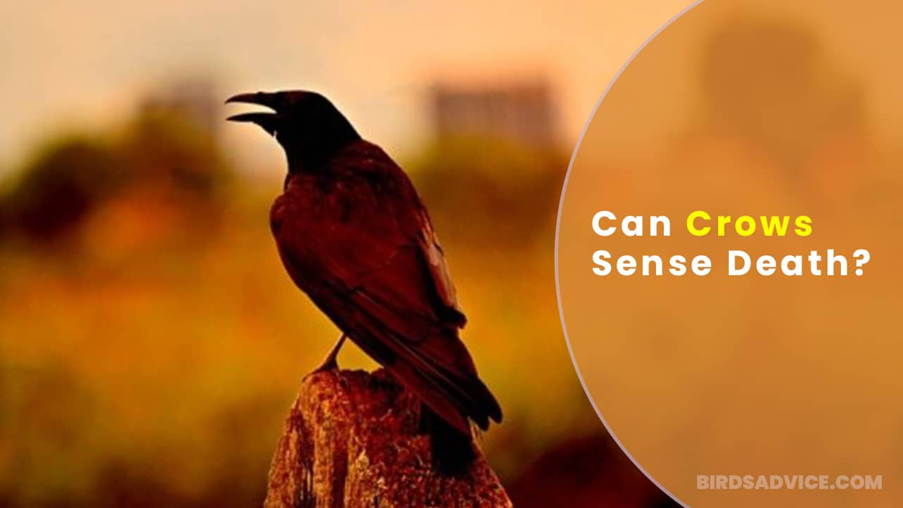 Can Crows Sense Death? Do They Have Supernatural Power?