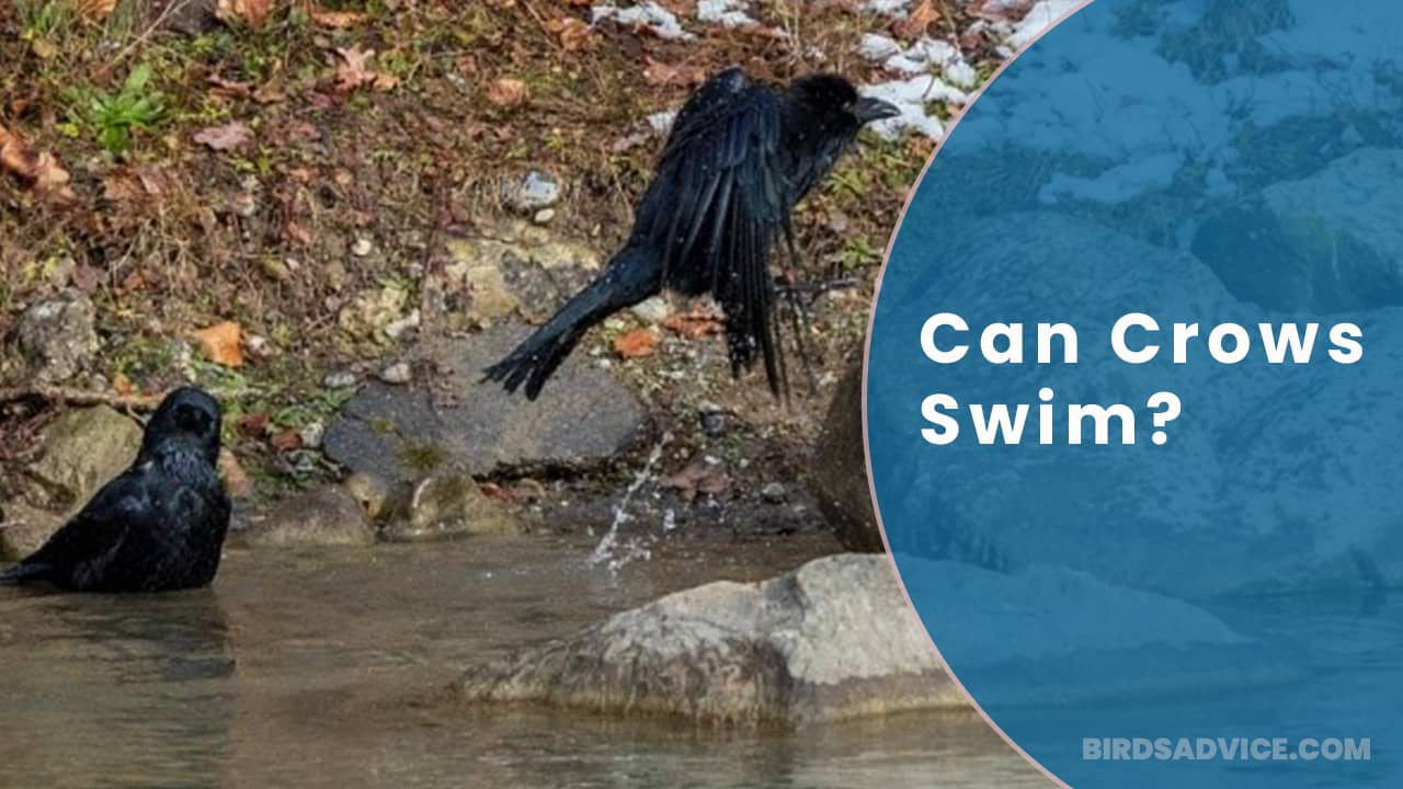 Can Crows Swim? Or Float On Water Then Fly Again?