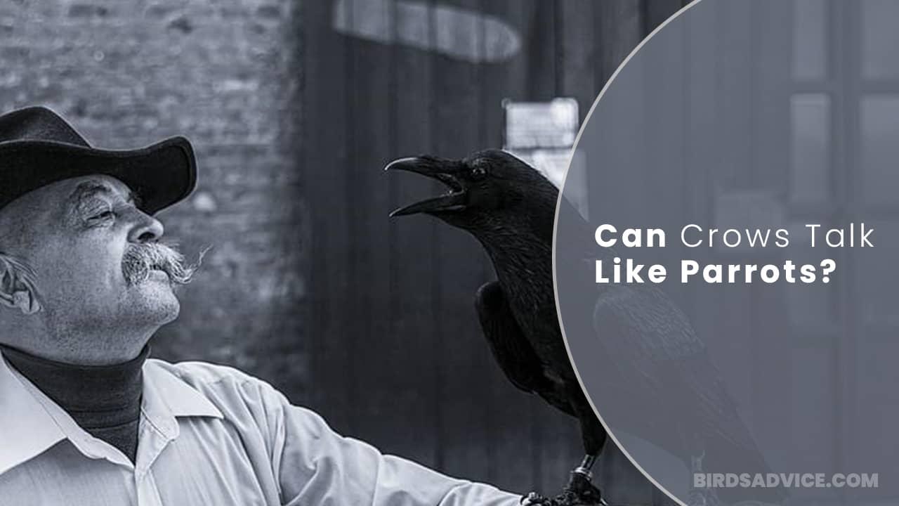 Can Crows Talk Like Parrots? Birds Advice