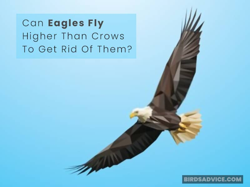 Can Eagles Fly Higher Than Crows To Get Rid Of Them?