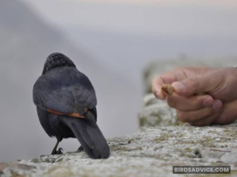 Can You Teach A Crow To Talk?