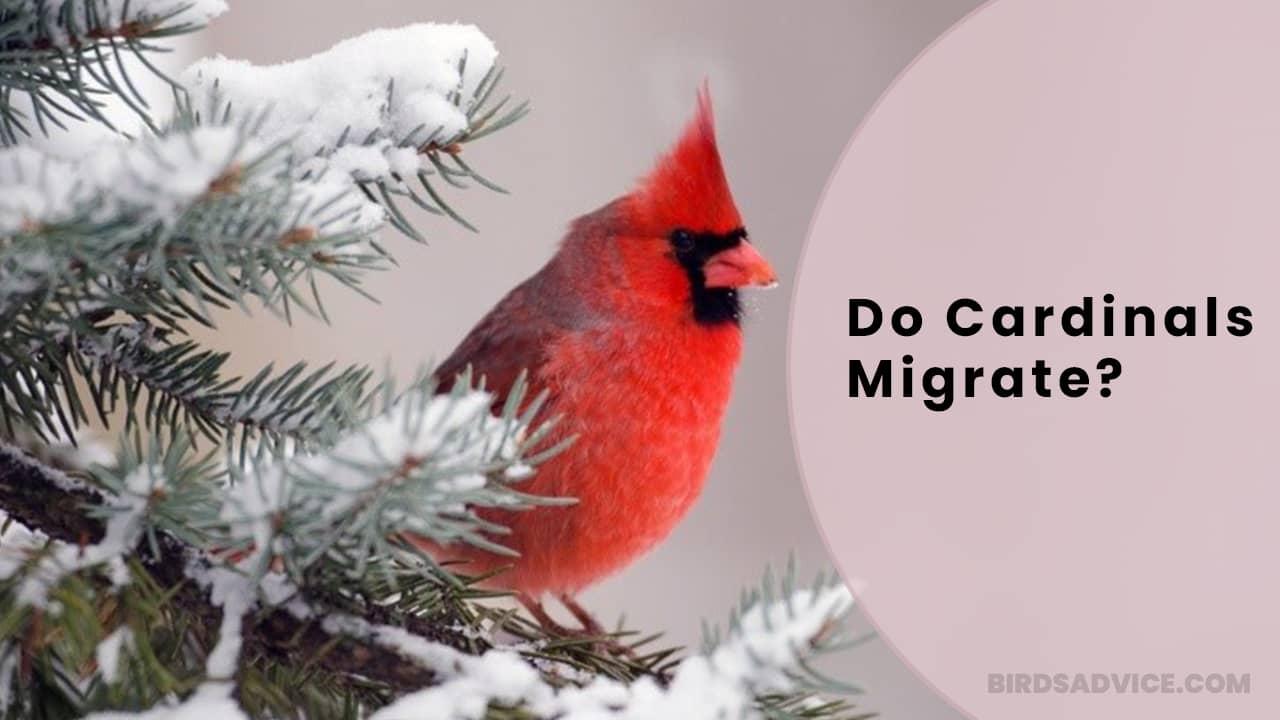 Do Cardinals Migrate