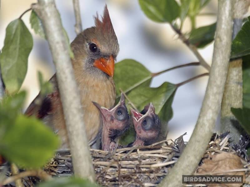 Do Cardinals Sleep With Their Babies?