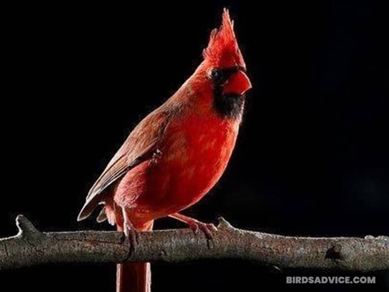 Do Cardinals Sleep in The Same Place Every Night?