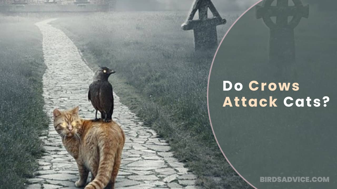 Do Crows Attack Cats? Birds Advice