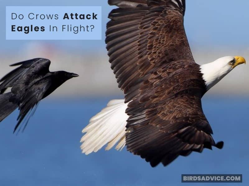 Do Crows Attack Eagles In Flight?