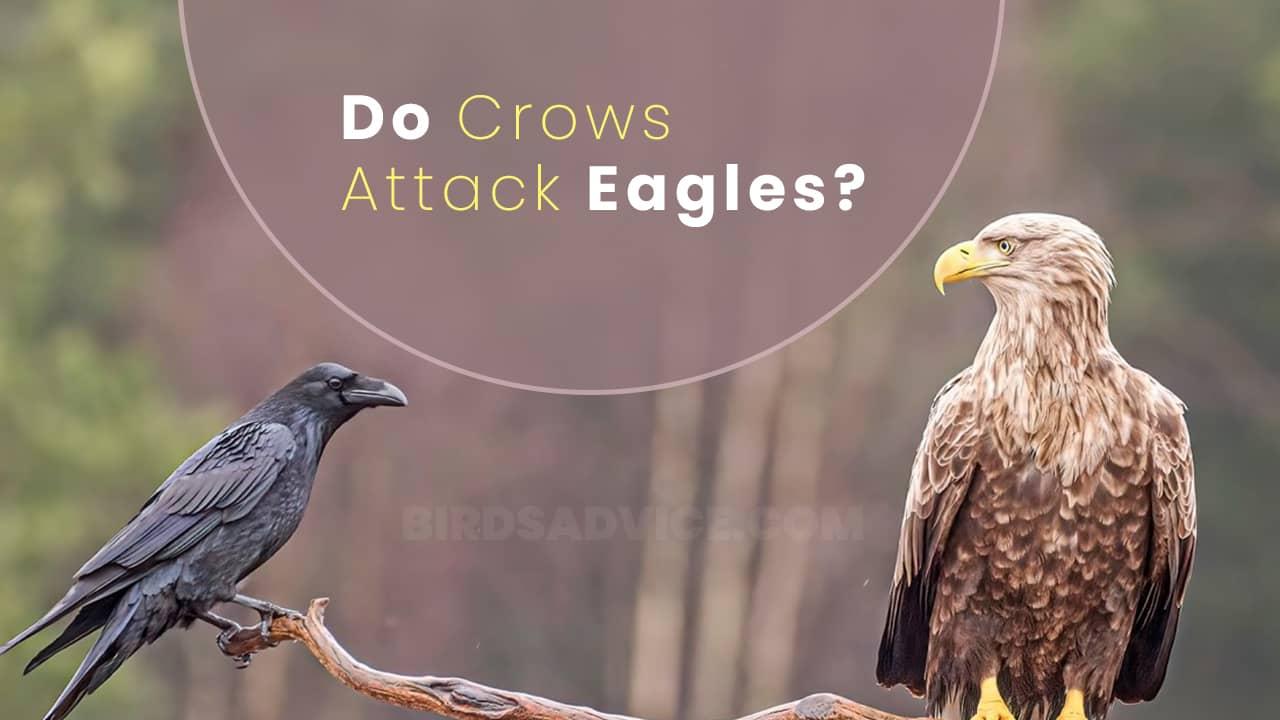 Do Crows Attack Eagles