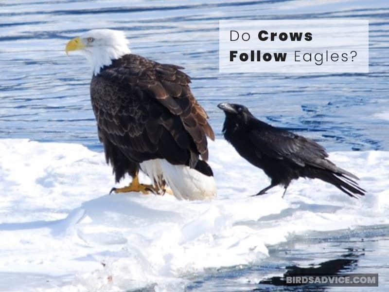 Do Crows Follow Eagles?