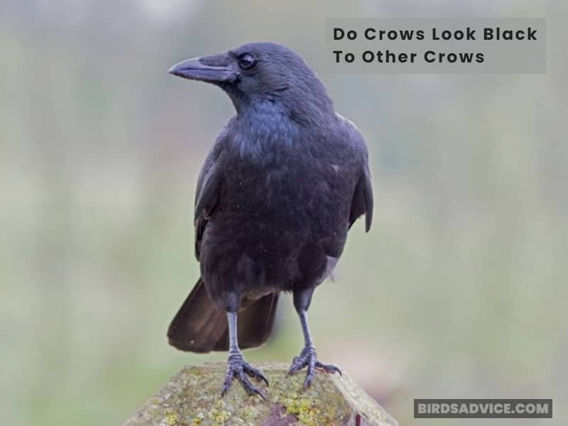 Do Crows Look Black To Other Crows?