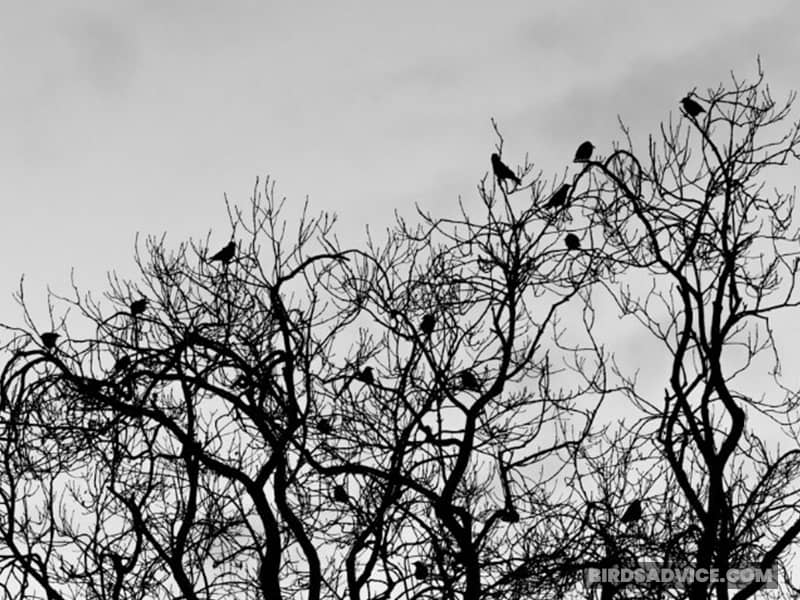 Do Crows Sleep In The Same Place Every Night?