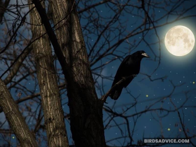 Do Crows Sleep Standing Up?